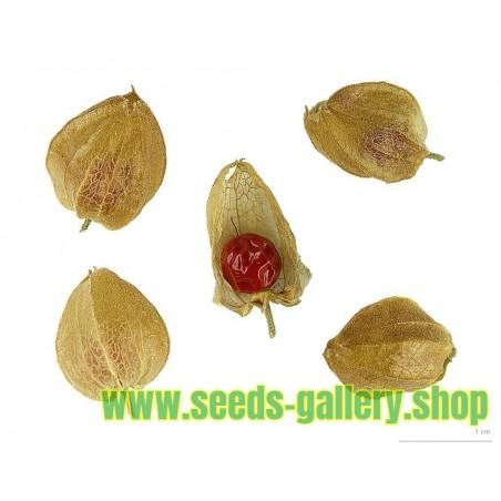 Ashwagandha – Idnijski Ginseng Seme (Withania Somnifera)