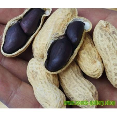 Mini Butternut – Kruska Bundeva Seme