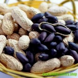 Sementes de Amendoim preto (Arachis hypogaea)
