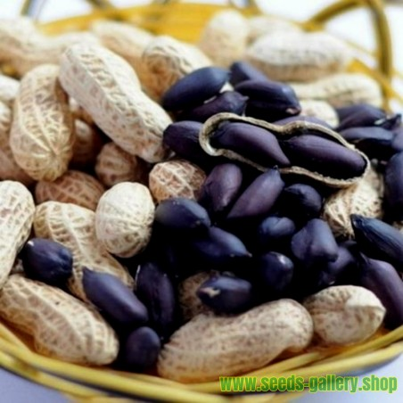 Small Fruited Mini Butternut Squash Seeds