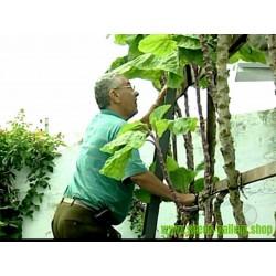Spazierstockkohl Riesenkohl Futterkohl Samen (Brassica oleracea longata)