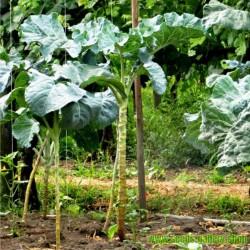 Sementes de REPOLHO GIGANTE ÁRVORE (Brassica oleracea longata)