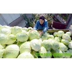 Futog Cabbage Seeds Heirloom