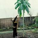 Semillas de ALMENDRAS DULCES (Prunus amygdalus)