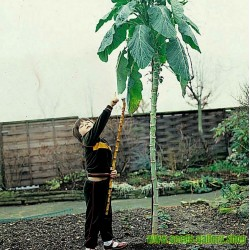 Semillas de Repollo gigante de Jersey (Brassica oleracea var. Longata)