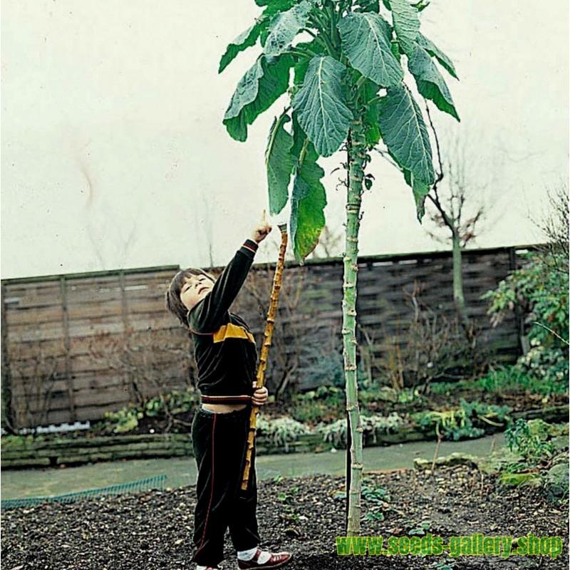 TRÄDKÅL - JERSEY JÄTTE KÅL Frö (Brassica oleracea var. Longata)