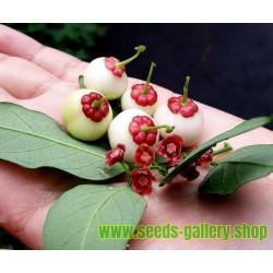Katuk, Star Gooseberry, Sweet Leaf Seeds (Sauropus androgynus)