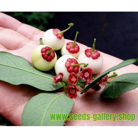 Semi di albero Spinaci - Katuk (Sauropus androgynus)