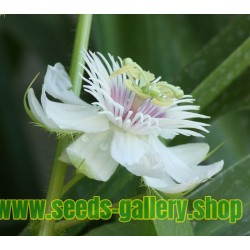 Weisse Passionsblume Samen (Passiflora foetida)