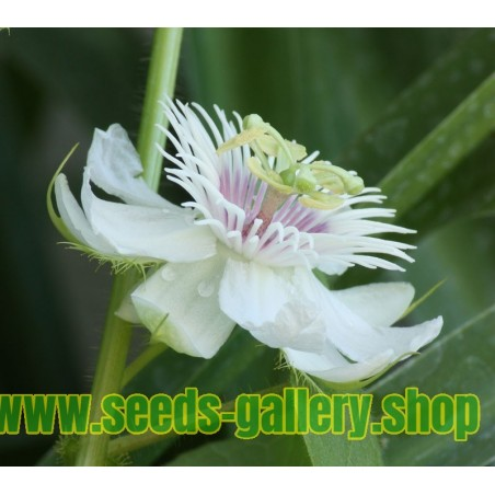 Marya-Marya, Bush Passion Fruit Seeds (Passiflora foetida)