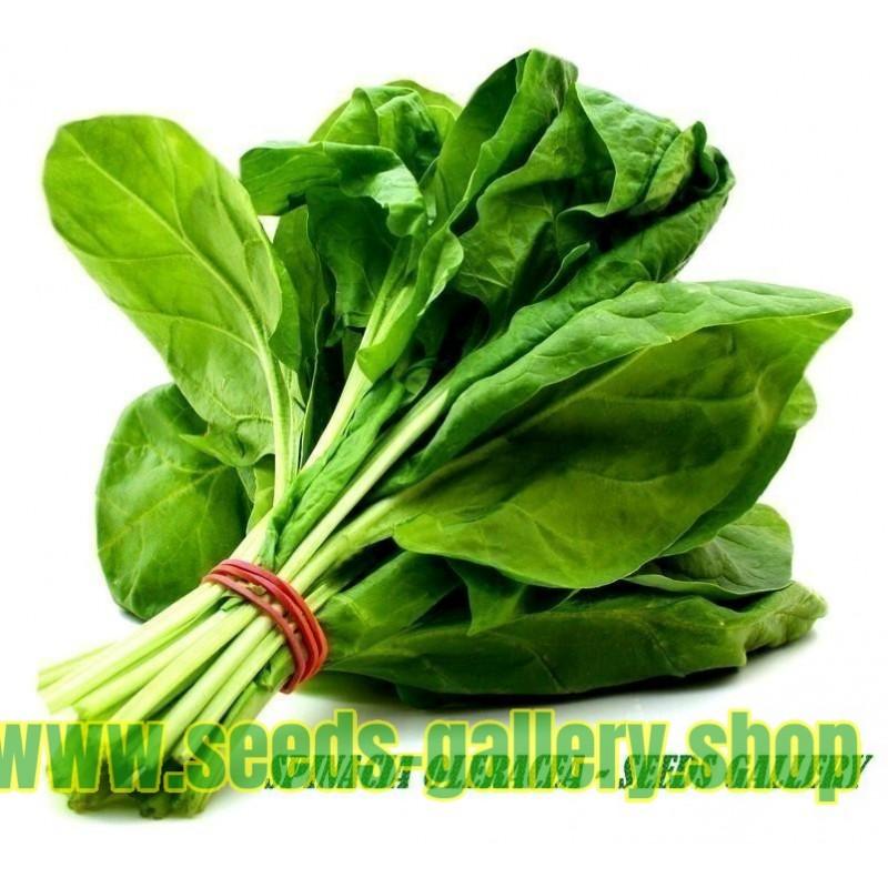 Spinach Seeds Matador