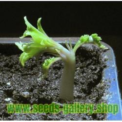 Sementes de Amêndoa Doce - Amêndoa-De-Coco (Prunus amygdalus)