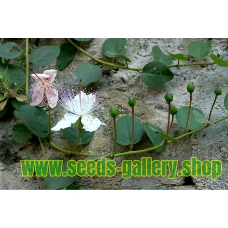 Sementes de Alcaparra (Capparis spinosa)