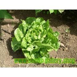 Lettuce Seeds 'Green Mignonette' Butterhead