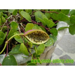 Caper bush, Flinders Rose Seeds (Capparis spinosa)