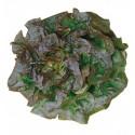 Titanenwurz, Titanwurz Samen (Amorphophallus titanum)