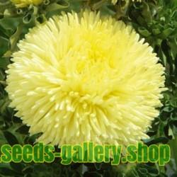 Σπόροι Άστερ Κίτρινος (Aster Callistephus)