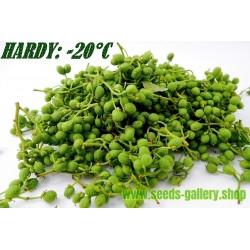 Semillas Pimienta de Nepal (Zanthoxylum armatum)