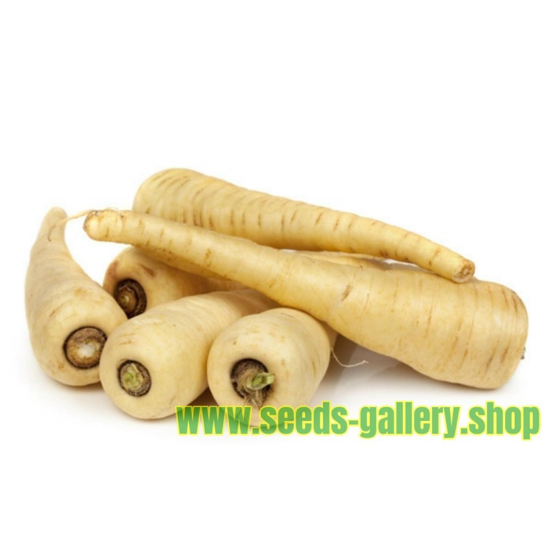 Long White Smooth Parsnip
