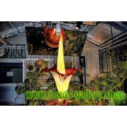 Jätteknölkalla Fröer (Amorphophallus titanum)
