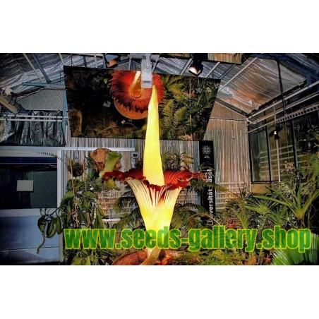 TITAN ARUM Seme (Amorphophallus titanum)