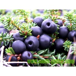 Schwarze Krähenbeere Samen (Empetrum nigrum)