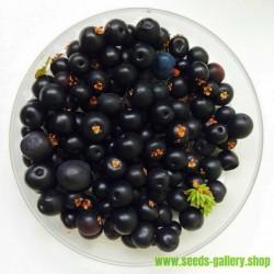 Sementes de Empetrum-negro, Baga-do-corvo (Empetrum nigrum)