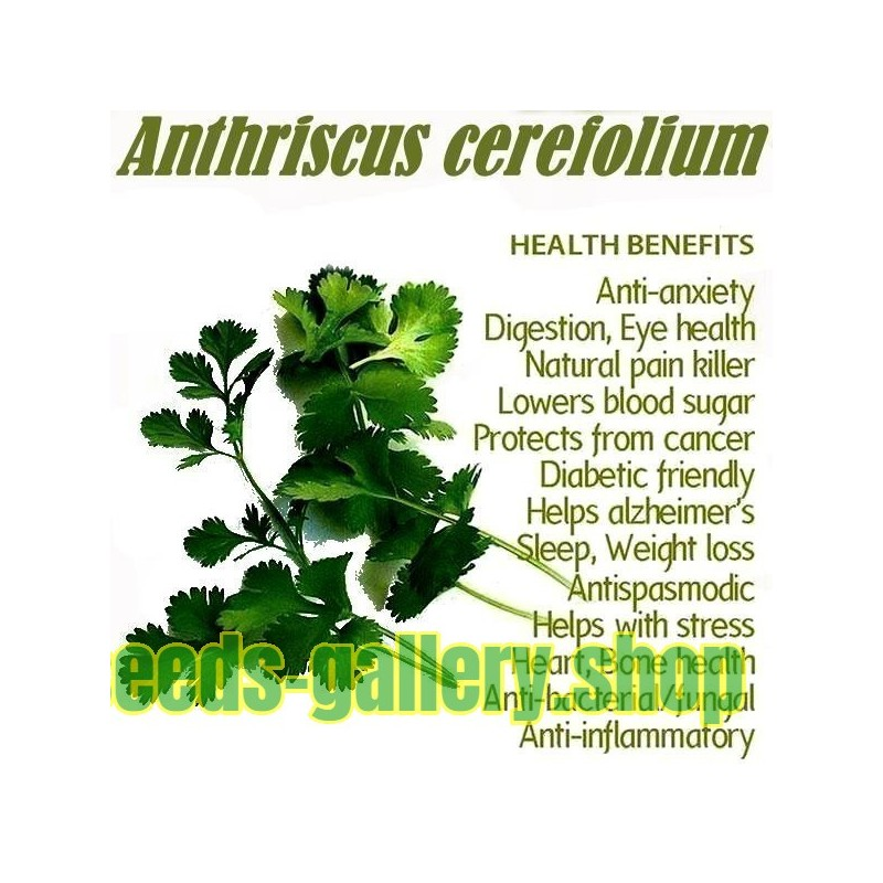 Chervil Seeds - Spice and Medicinal Plant (Anthriscus cerefolium)