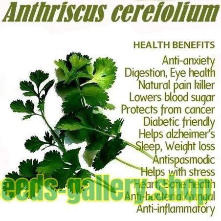 Sementes de CEREFÓLIO ou CEREFOLHO (Anthriscus cerefolium)