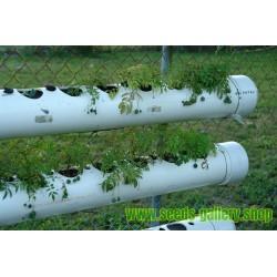 Σπόροι Tzimbalo (Solanum caripense)