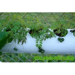 Sementes de Tzimbalo (Solanum caripense)