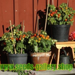 Graines de Tomate de balcon VILMA