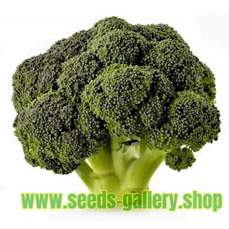 Semillas de Brécol - Bróculi - Brócoli Corvet