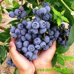 """""""DUKE"""" Highbush Blueberry Seeds (Vaccinium Corymbosum)"""