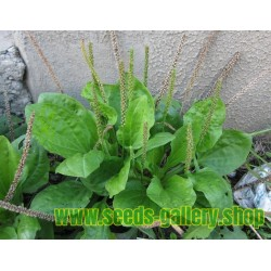 Greater Plantain Seeds (Plantago major)