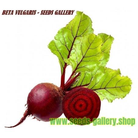"Rote Rübe Samen - Rote Beete ""Cylindra"""