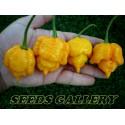 Graines de tomate sauvage des GALAPAGOS (Solanum Galapagense)