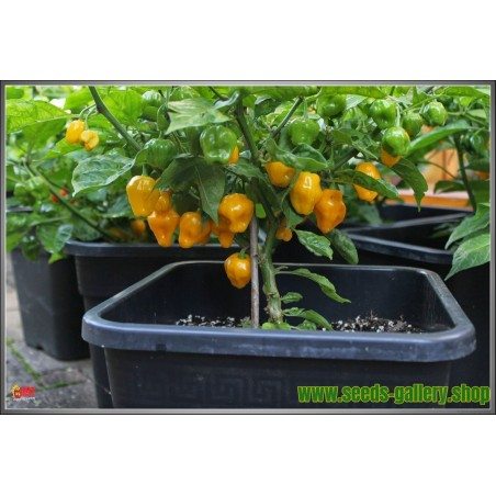 Trinidad Perfume Chili Pepper Seeds