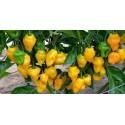 Trinidad Perfume Chili Pepper Seeds