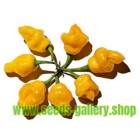 Semi di UVA SPINA BIANCA (Ribes uva-crispa L.)