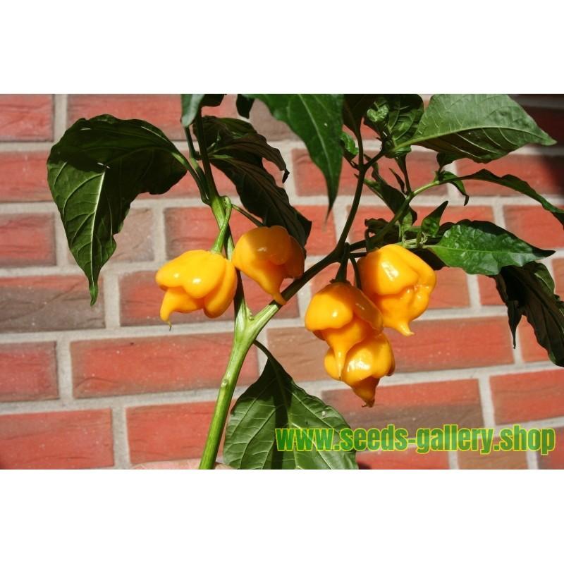 Riesen-Sonnenblume Samen Riesen Russische MAMMUT (Helianthus annuus)