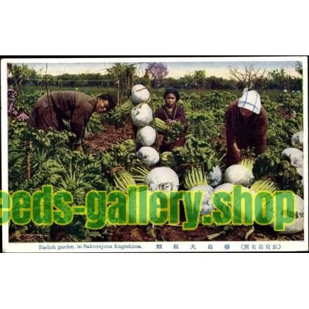 SAKURAJIMA DAIKON Giant Radish Seeds – Largest Radish in the World