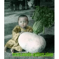 SAKURAJIMA DAIKON Giant Radish Seeds – Largest Radish in the World