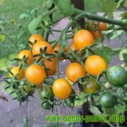 Galapagos Island Wild Tomato Seeds (Solanum chessmanii)