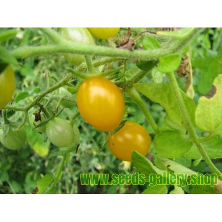 Sementes de Galápagos Tomate selvagem RARO (cheesmanii Lycopersicon)