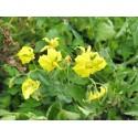 Black Maca Organic Seeds (Lepidium meyenii) Aphrodisiac