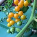 CORNELIAN CHERRY, EUROPEAN CORNEL Seeds (Cornus mas)
