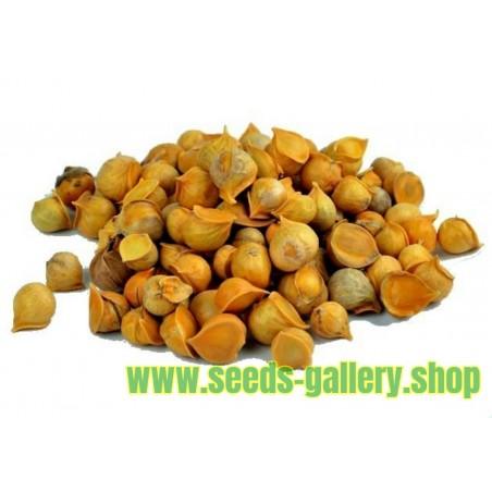 Graines de CORNOUILLER MÂLE (Cornus mas)