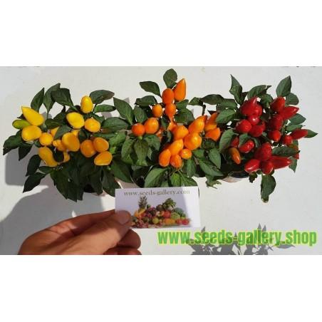 Bolivijski Mini Chili Seme
