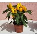 Essbare Mittagsblume Samen (Carpobrotus edulis)